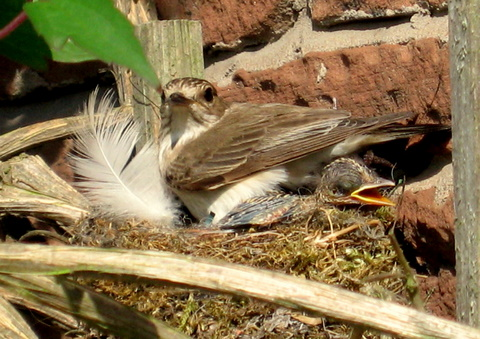 Garden Warbler on the nest