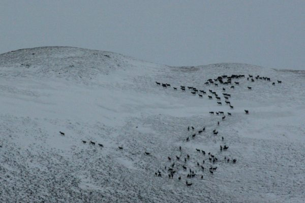 A big herd of deer flowing up the hill.