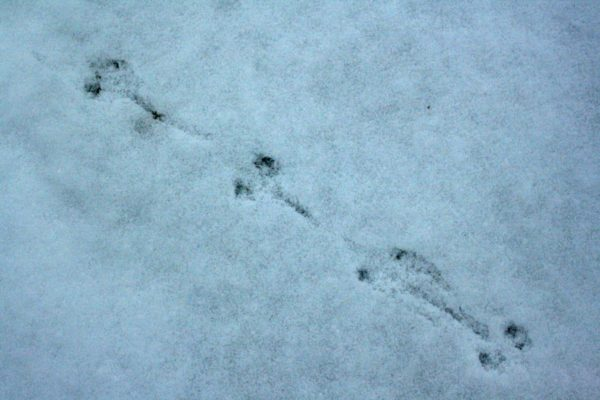 But who do these tracks belong to? The tail (?) marks are around 4cm long.