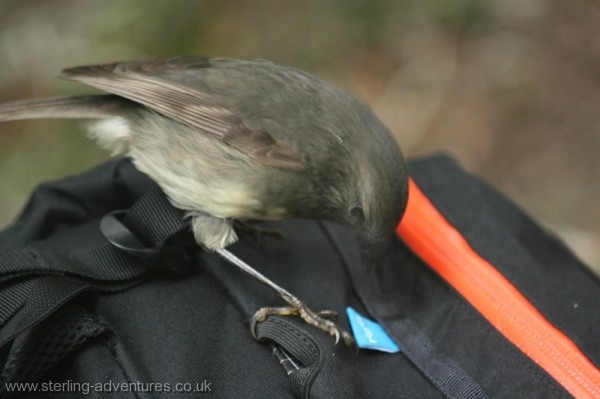A South Island Robin takes a keen interest in the tag on my backpack.