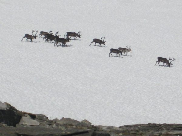 Reindeer on the ice.