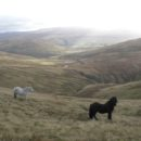 Pretty ponies on the fell