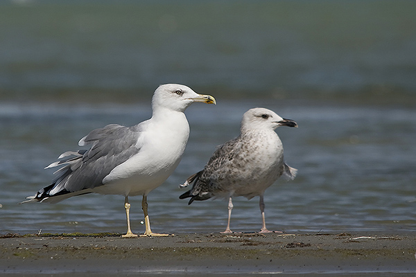 Yellow-legged Gull -  Larus michahellis