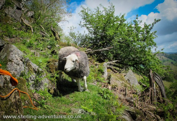 A very brave sheep sneaking past us while we dozed in the sunshine on the path below the crag