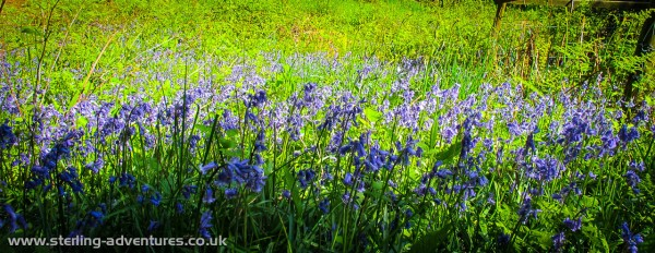 Bluebells near Grasmere
