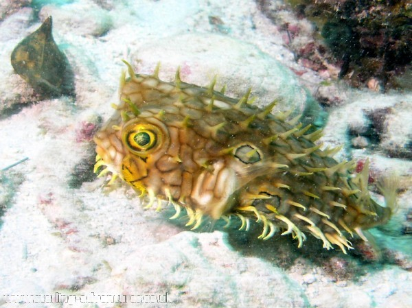 A cute Burrfish checking us out!