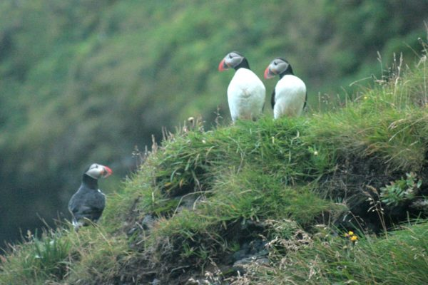 Puffins on the cliffs at Vik.