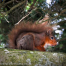 A native red squirrel - WELCOME